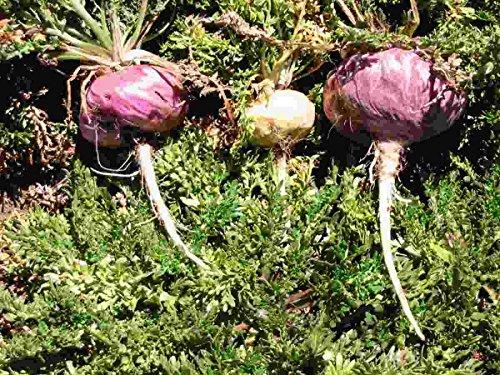 Asklepios-seeds® - Lepidium meyenii, Maca, 50 graines, variante lilas