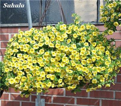 50 Pcs Pétunia Graines de fleurs pétunias Jardin Bonsai Balcon Petunia hybrida Flower Seed Plantes décoratives pour jardin 15