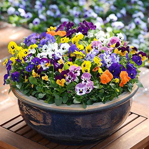 Eastbride Flores Paisaje para cercas,5 Semillas de Pensamiento con Cuernos, Semillas de Flores en Maceta en Primavera-Rosa,Maceta para Plantas de jardín/Interiores