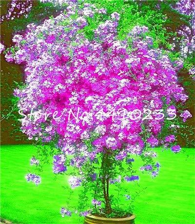 GEOPONICS SEEDS: 100 Stück Plumbago Bonsai Exotische Blumen Bonsai Home Garten Dekor Pflanze Ceratostigma plumbaginoides Bonsai: b