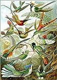 Poster 50 x 70 cm: Trochilidae Kolibris von Ernst Haeckel -