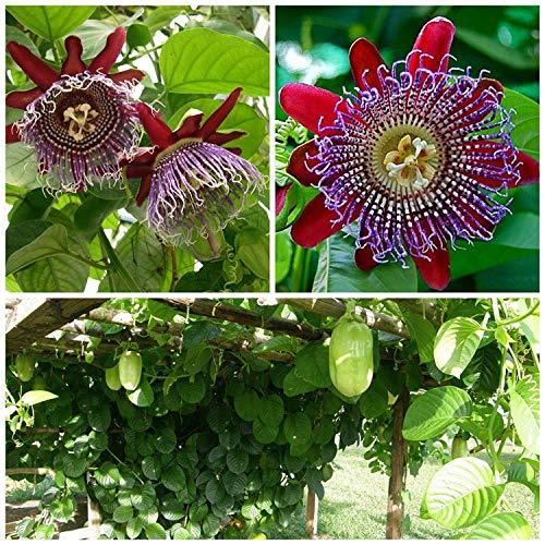 Potseed Samen Keimung: 50 Samen von Passiflora quadrangularis, Maracuja, Passionsfrucht, C