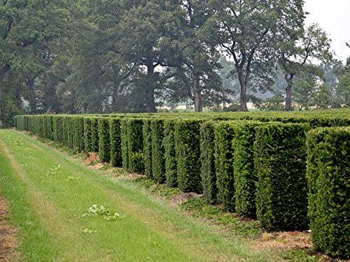 5 Stk. Eibe - Eibenhecke Wurzelware 18 - 24 cm hoch - Taxus baccata - Garten von Ehren®
