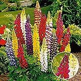 Eden-blumen 100 stücke Bio Duftende Lupine Samen, Entzückende Blumen Samen Lupine Samen Duftende Blume Samen mehrjährig (1)
