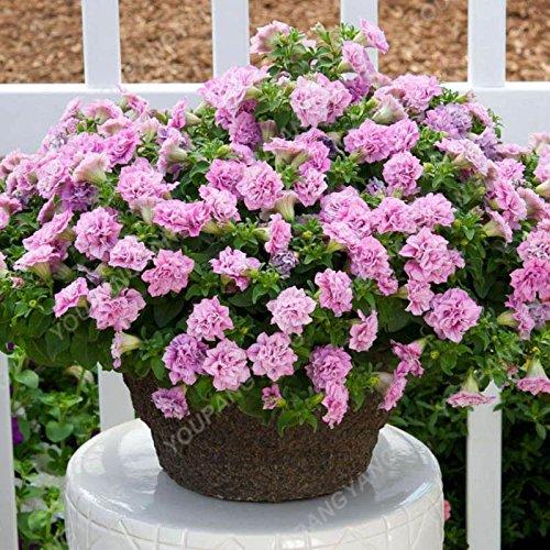 200pcs Bonsai Pétales de fleurs de pétunia couleurs mélangées Double Petunia Hybrid Seeds avec le pack professionnel Une décoration pour la maison Jardin Blanc