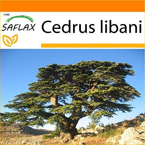 SAFLAX - Jardin dans le sac - Cèdre du Liban - 20 graines - Cedrus libani