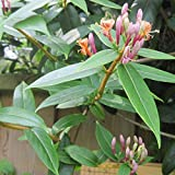 Lonicera henryi 'Henry's Honeysuckle' Evergreen Hardy Shrub Climber | 9cm Pot