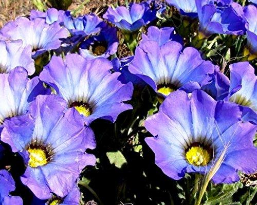 Nolana Blue Bird Graines - Nolana Grandes Fleurs