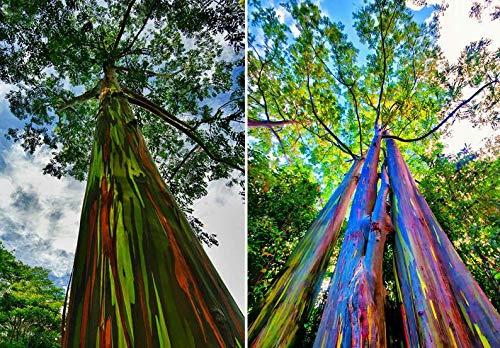 UEYR Eucalyptus Deglupta 150 Samen (Regenbogen-Eukalyptus) - Schöne selten