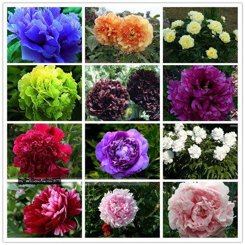 15pcs / peonia semi. Paeonia suffruticosa 12 colori semi di fiori bonsai da interno per Home pianta da giardino peonia semi di fiori mix