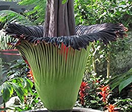 Corpse Plant Amorphophallus Titanum Known As Corpse Flower Ebook Baron Maya Tohme W Amazon Co Uk Kindle Store
