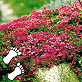 Rare Scented Red Groundcovering Creeping Thyme Thymus serpyllum Carpet Bee Friendly Easy Care, Hardy...