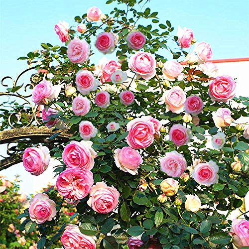 XINDUO Rare graines de Multicolor,Four Seasons Rose Garden Plante d'intérieur Graine de Fleur-0,5 kg,semences vivaces