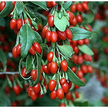 Amazon Com Sweet Lifeberry Goji Berry Plant Lycium Super Fruit