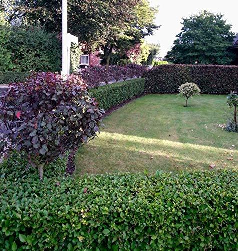 50st. Liguster Atrovirens 70-100cm reine Pflanzhöhe Heckenpflanze Ligustrum Wurzelware