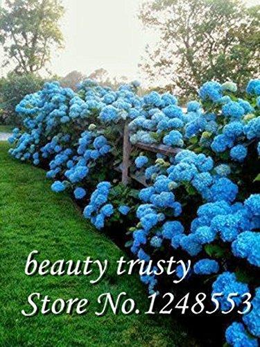 En soldes! 50 bleu graines Hydrangea fleurs, couleur rare, durable, magnifiques graines de bonsaï fleur plante