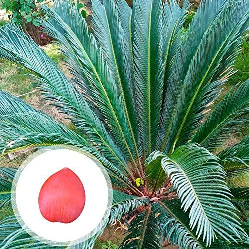 Benoon Sago Cycas Samen, 1 Stk. Sago Cycas Samen Tropisch Leicht Zu Pflanzen Grüne Sago Palmensamen Für Den Garten Sago Cycas Saat