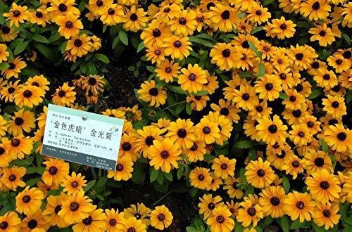 2016 Hot Vente Promotion Sementes De Flores Graines gros 200pcs Rare Chinese laciniata Summer Rudbeckia Hirta Livraison gratuite