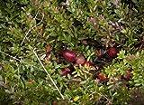 Cranberry 10 Samen -Cranberries- *Vaccinium macrocarpon* Winterhart