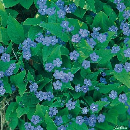 Himmelblaues Gedenkemein (Omphalodes verna) - 1 Pflanze
