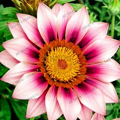 100//Tüte gemischt Farbe Gazanien rigens Samen, Blumensamen für Haus und Garten, Bonsai Pflanze für Indoor Outdoor Bepflanzen Show In Picture 6