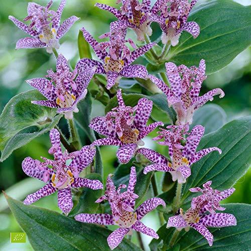 2x Tricyrtis hirta | 2er Set Japanische Krötenlilie Winterhart | Pflanzen für Garten | Höhe 25-35 cm | Topf-Ø 11cm