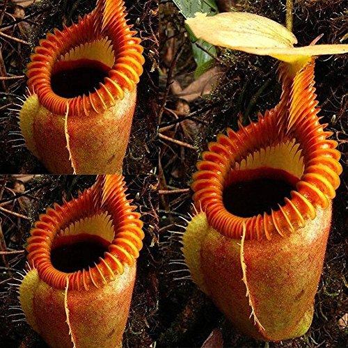 KimcHisxXv Nepenthes Samen, 120 St¨¹cke Samen Seltene Nepenthes Fliegenfalle Balkon Fleischfressende Topf Bonsai Pflanze