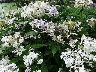 hydrangea macrophylla lanarth