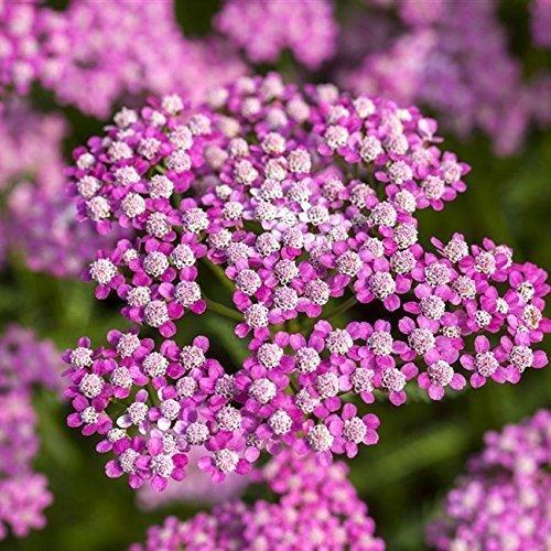 Achillea millefolium 'Lilac Beauty' Garten-Schaf-Garbe Staude Topf gewachsen