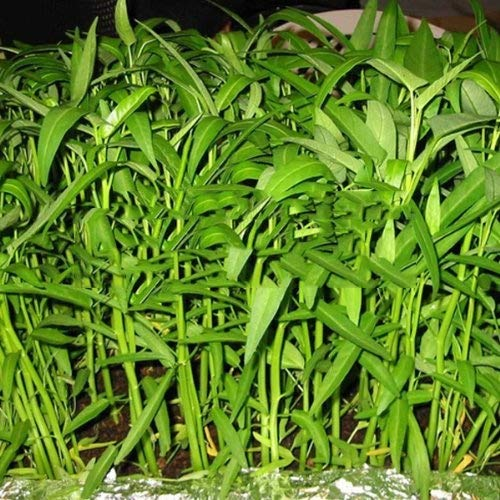 Pak-Boong Morning Glory Water Spinach Vegetable Bulk Seeds