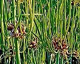 10 bulbos de cebolla egipcia, cebolla de aire, cebolla de literas, ion egipcio, Allium viviparum