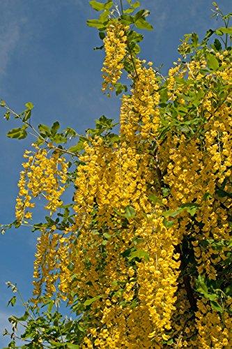 Goldregen Laburnum anagyroides 40 Samen