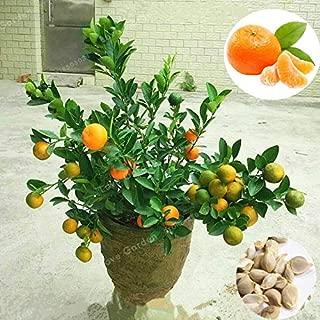 Kasuki 30 Pcs Citrus Reticulata Bonsai Potted Edible Organic Orange Fruit Bonsai Dwarf Standing Orange Tree Bonsai Indoor Plant in Pot