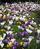 Giant Mixed Crocus (100 Bulbs)- Perennial,Spring Blooming Flowers