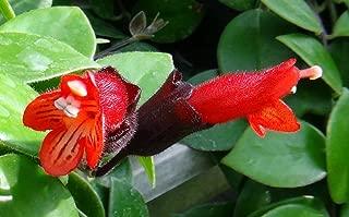 Mona Lisa Lipstick Plant 4