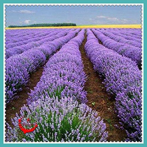 400 Pcs pourpre lavande English graines fraîches arôme romantique fleuri Très belles plantes de jardin Entretien facile