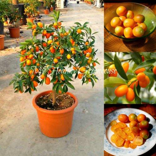 Les meilleures ventes de! 30pcs / sac Balcon Patio en pot Arbres fruitiers Graines Plantées Kumquat Graines orange Tangerine Citrus F47