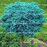 sanhoc 30pcs pianta ginepro bonsai purificare l'aria assorbi nocivo gas decorazione del giardino di pianta molto facile da coltivare: 4