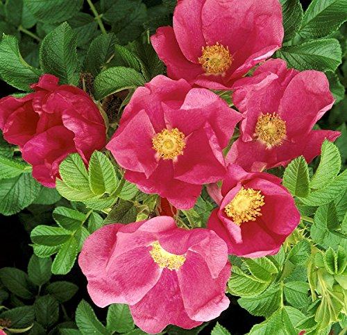 Rosa rugosa, Sylter Rose, Kartoffelrose, Wildrose, Wurzelware
