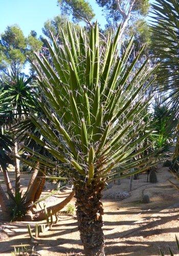 TROPICA - Mexikanische Wüsten - Yucca (Yucca filifera) - 10 Samen