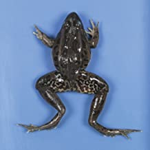 Perfect Solution Preserved Jumbo Frog, 3-4