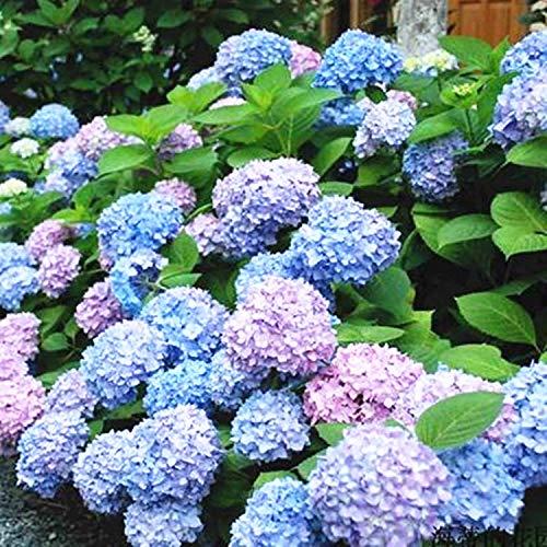 HTHJA perennes Plantas Semillas,Impresionantes Semillas de hortensias, Flores Ornamentales con un Largo período de floración 250g,Ornamentales para balcón, Jardín