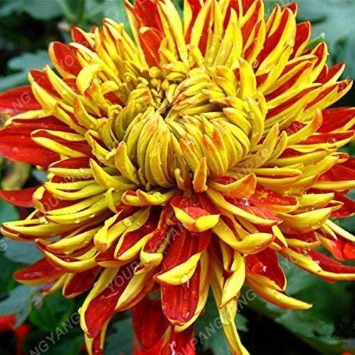 Caudex MIRABILIS JALAPA exotisch duftende Bonsai seltene Pflanze Blumensamen - 25 Samen