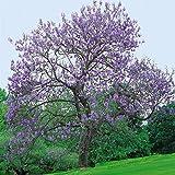 Qulista Samenhaus - China Duftend 10pcs Rarität Blauglockenbaum Exotisch Kiribaum Saatgut,...