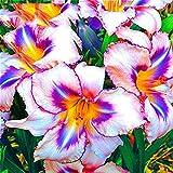 Aimado Seeds Garden-50 Pcs Lis perpétuels fleurs graines vivaces Mélange Plantes Hémérocalle pour balcons et terrasses