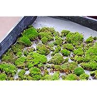 200pcs semillas musgo, semillas Sagina subulata, musgo bonsai semillas de césped decorativo, planta en maceta para el jardín de DIY