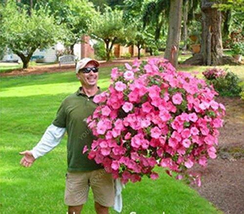100 Graines Petunia Graines Citron Tranche Superbells Calibrachoa Pétunia annuelle Graines de fleurs rares Couleur de la fleur Bonsai plantes pour la maison verte