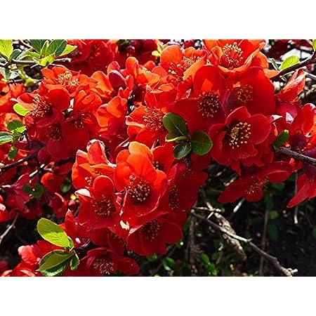 10 Semillas de Chaenomeles Japonica Flowering Quince arbusto