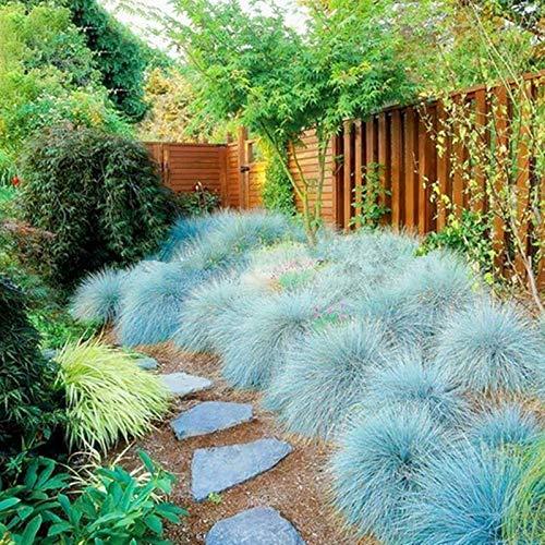 Blue Fescue Seeds, 200 Stück Blue...