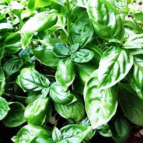 VISA STORE Basil Large Leaved Bonbon 500 Samen Ocimum Basilicum Sabja